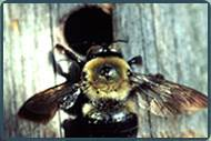 Carpenter Bee Control NJ | Carpenter Bee Removal Services NJ | Carpenter Bee Pest Control NJ