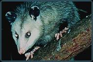 Possum Removal NJ | Possum Control Services New Jersey | Possum Animal Control NJ