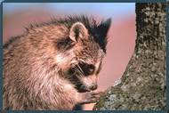 Animal removal services in Mercer County/Raccoon boring image