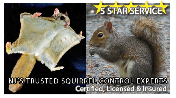 squirrel control nj