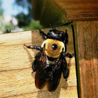 Carpenter Bee Removal in Somerset County, NJ Image