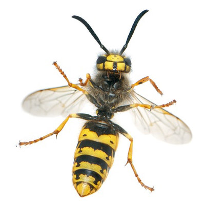Wasp Control in Middlesex, NJ Image