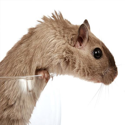 Rodent Removal in Morris County, NJ Image