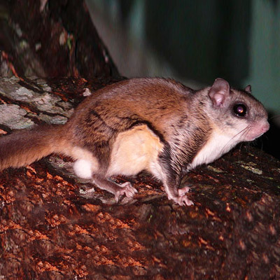 Flying Squirrel Removal in NJ Image