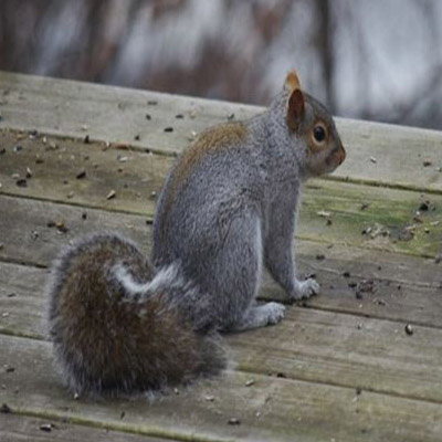Gray Squirrel Control in Hunterdon County, NJ Image