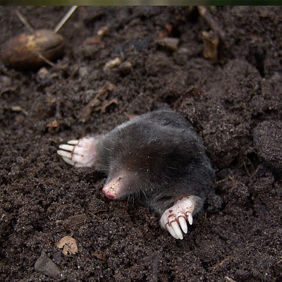 Mole Control in NJ Image