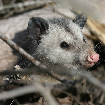 Opossum Removal in Hudson County, NJ Image