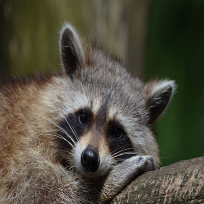 Raccoon Removal in NJ Image