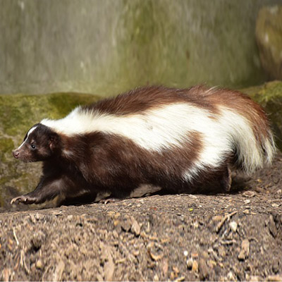 Skunk Control in Bergen County, NJ Image