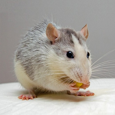 Rat Removal in Bergen County, NJ Image
