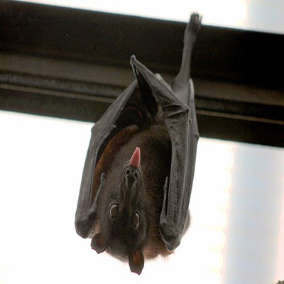 Bat Removal in NJ Image