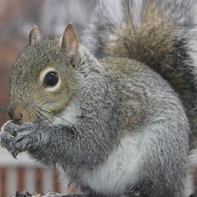 Squirrel Control in Vauxhall, NJ Image