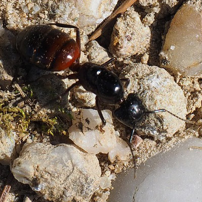 Carpenter Ant Control in Union County, NJ Image